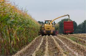 corn harvest 2