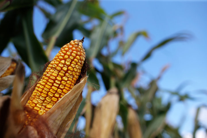 Corn is seen in the field that belonged to the Gibson family farm businesses which was auctioned off by a court appointed receiver in Morocco
